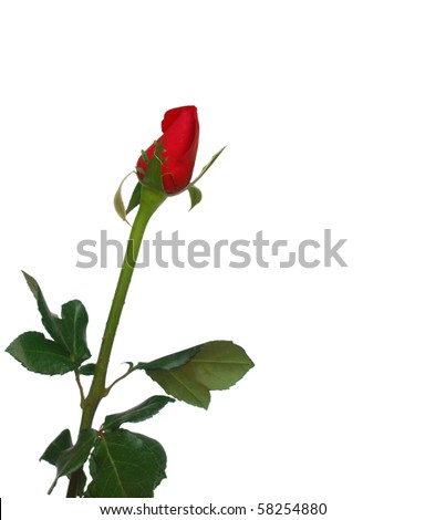 the young bud rose - stock photo