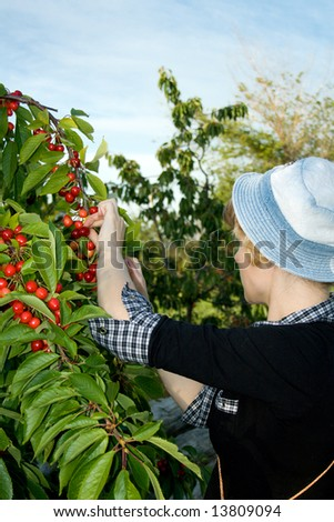 The young girl collects a sweet cherry