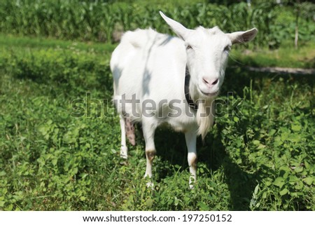 The young goat grazes on meadow. Shallow depth of field. - stock photo