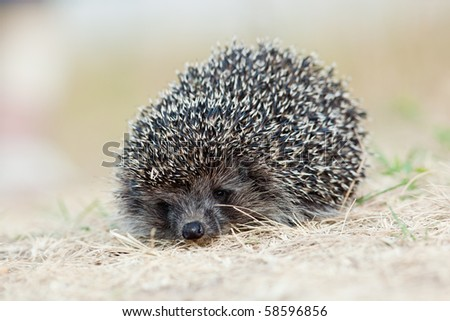 The young hedgehog left on hunting in a grass, evening.