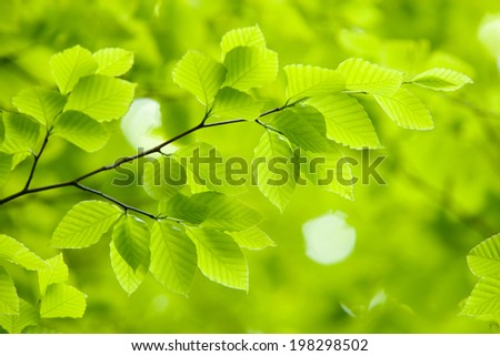 The Young Leaves Of Beech