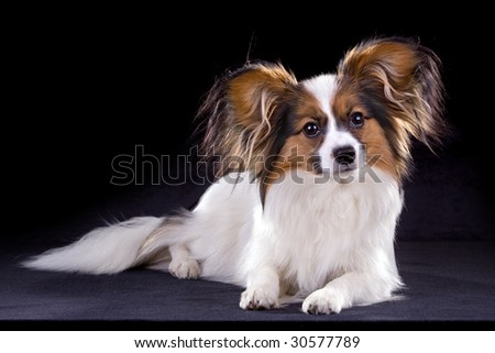 The young papillon on a black background