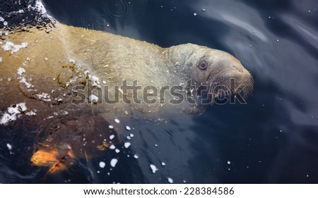 The young walrus swimming underwater - stock photo