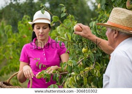 The younger woman helping an older man in the orchard, to pick peaches