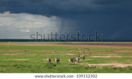 The Zebra and the approaching storm in Lake Manyara National Park - Tanzania, Eastern Africa