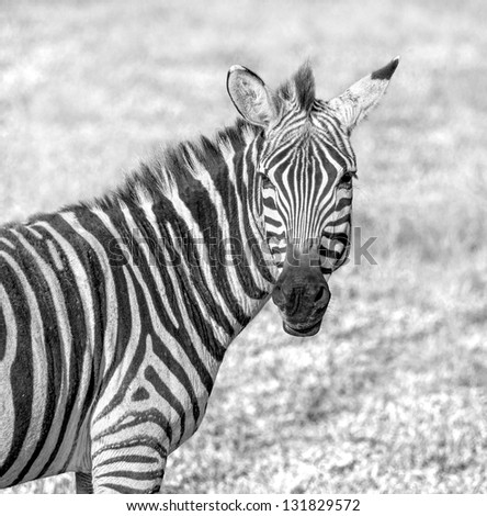 The zebra in the Crater Ngorongoro National Park - Tanzania, Eastern Africa (black and white) - stock photo