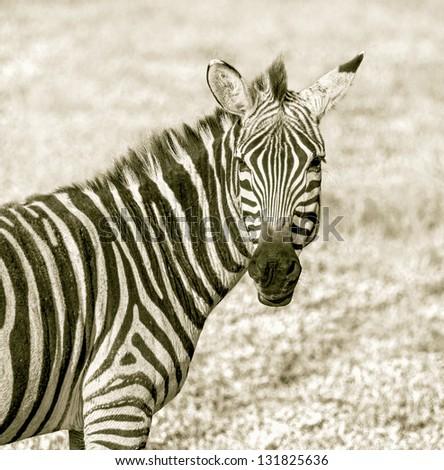 The zebra in the Crater Ngorongoro National Park - Tanzania, Eastern Africa (stylized retro) - stock photo