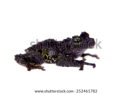 Theloderma bicolor, rare spieces of frog on white - stock photo