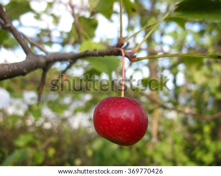 There are apple tree and apples - stock photo
