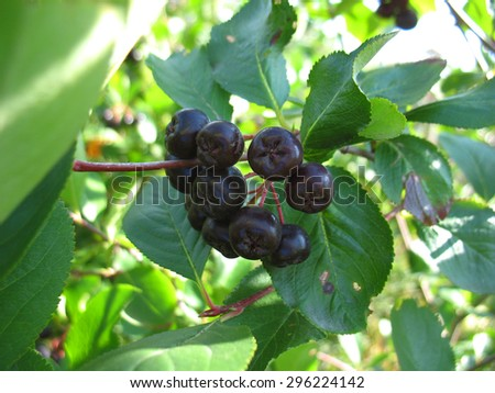 There are black berries of Sorbus and Aronia - stock photo