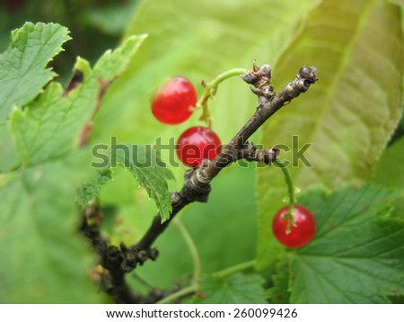 There are bush of red currant and berries - stock photo