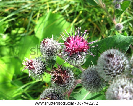 There are  flowers of burdock  and green grass - stock photo