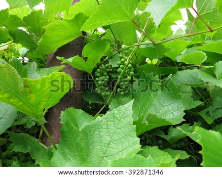 There  are green leaves and branches of grapes - stock photo