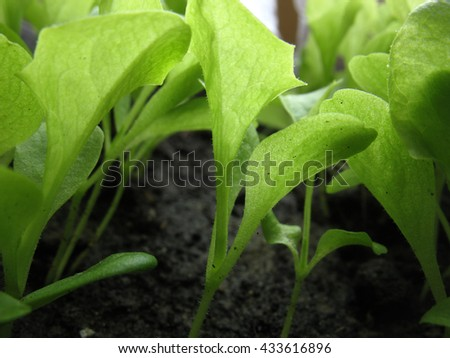 There  are green leaves of lettuce. Macro - stock photo