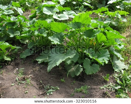 There are green plants of truck crops - stock photo