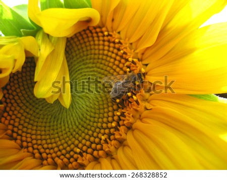 There are insect and plant. The insect (bumblebee) on sunflower. - stock photo