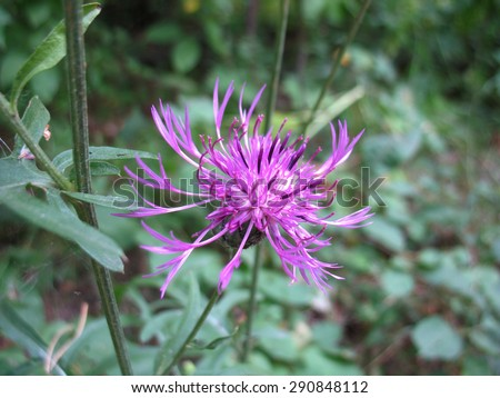 There are lilac flowers of  agrimony and green grass - stock photo