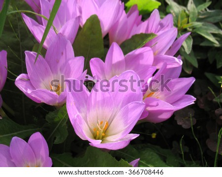 There are pink flowers (crocus) and green grass - stock photo