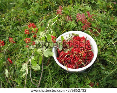 There are red berries of guelder-rose in white  bucket and green grass - stock photo