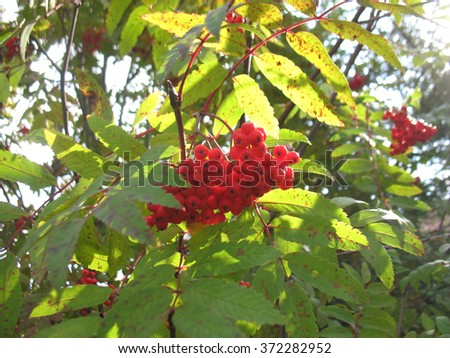 There are service tree and  red berries - stock photo
