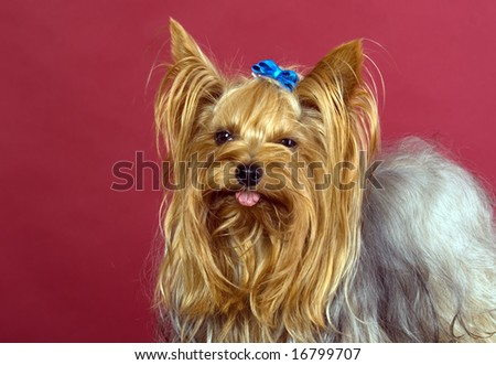 There is Yorkshire Terrier in red background