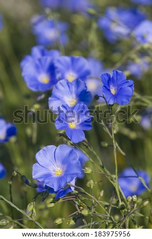 These are blue flax flower in bloom (also known as common flax or linseed, Linum usitatissimum). This is natural flower composition. - stock photo