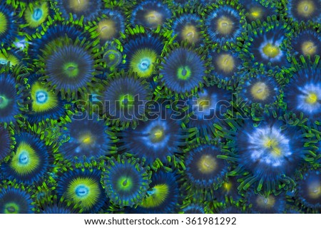These are various green zoanthids in a group - stock photo