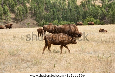 These Bison are enjoying acres of grazing at Custer State Park in South Dakota. - stock photo
