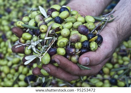 These hands are checking the olive harvest.Olives picking in Sicily- Italy - stock photo