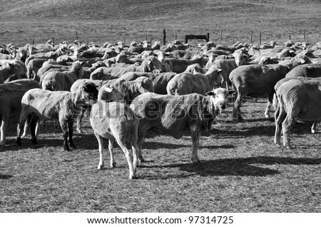 These sheep on a California ranch have just been shorn and await transportation to green alfalfa fields (monotone image) - stock photo