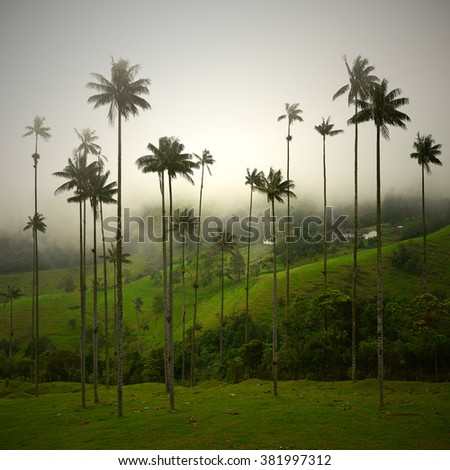 These wax palm trees in the Cocora valley in Colombia are the tallest palm trees in the world and can get as high as 60m.  - stock photo