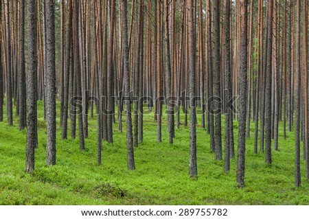 Thick coniferous forest, pine trunks background - stock photo