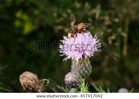 thick-headed fly, thistle - stock photo