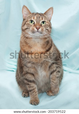 Thick tricolor striped cat sitting on green background