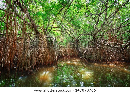 Thickets of mangrove trees in the tidal zone. Sri Lanka, Bentota - stock photo