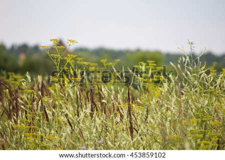 thickets of white and yellow sweet clover in the meadow - stock photo