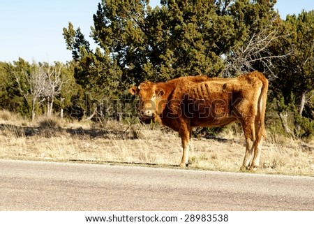 Thin cow grazing on the side of the road in open range area of US - stock photo