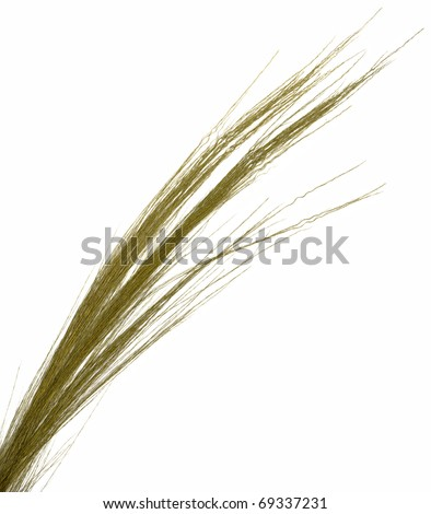 Thin ornamental dried grass on white. Very high-res. - stock photo