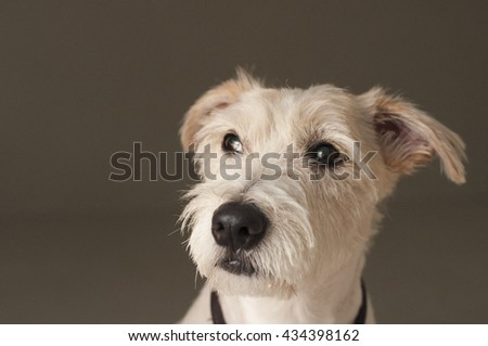 Thinking dog - Jack Russell Terrier - stock photo