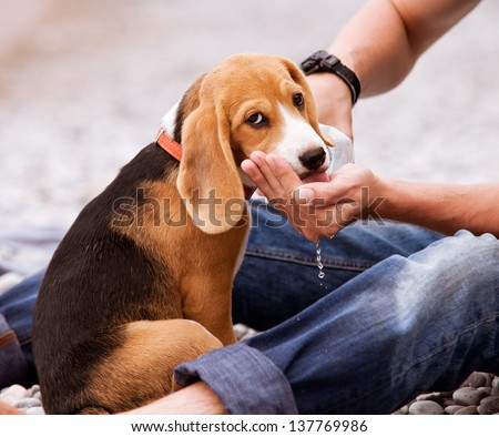 Thirsty beagle puppy drink a water from your owner hands
