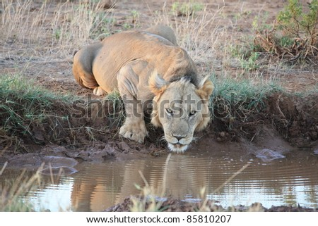 Thirsty for an early morning drink, the male lion watched our every move as he quenched his thirst. - stock photo