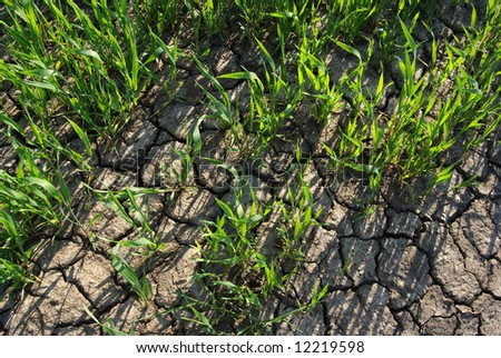 Thirsty wheat field in spring with cracked land - stock photo