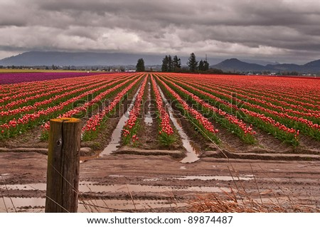 This agricultural image is a large tulip farm with rows of bi-colored tulips in a break of a spring storm.  Clouds loom dark and threatening with the rows having mud puddles in between. - stock photo
