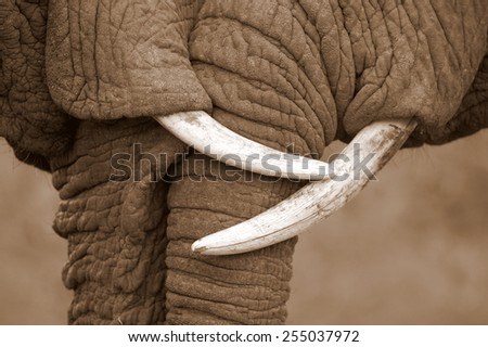 This amazing black and white photo of two elephants interacting was taken on safari in Africa.  - stock photo