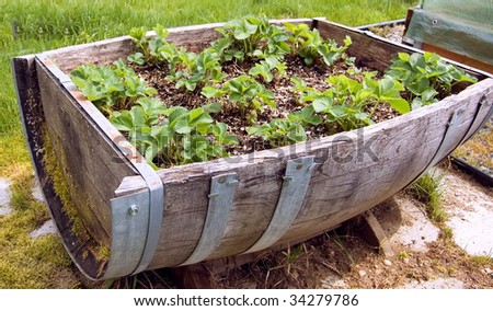 This antique barrel cut in half also serves as a rustic strawberry patch for a unique idea for gardeners. - stock photo