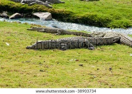This are alligators on grass next to a small river - stock photo
