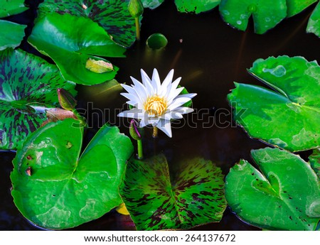 This beautiful waterlily or lotus flower is complimented by the rich colors of the deep blue water surface. Saturated colors and vibrant detail  - stock photo