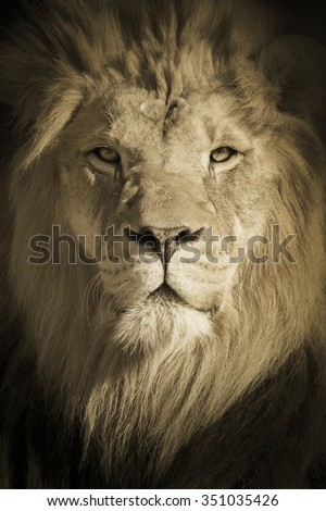This beautifully toned portrait of a make African Lion as the King of Beasts was shot at a local zoo late on a fall day. - stock photo