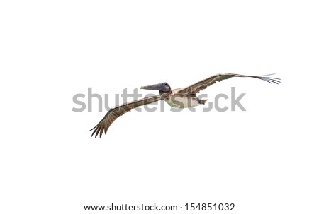 This Brown Pelican is soaring by the Seven Mile Bridge in the Florida Keys. They are very abundant in the Keys. - stock photo