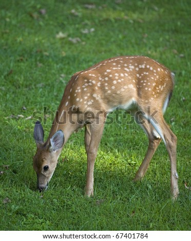 This button buck whitetail is so young is still has spots - stock photo
